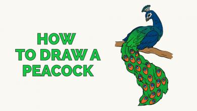Photo of تعليم طريقة رسم الطاووس بطريقة مبسطة بالصور