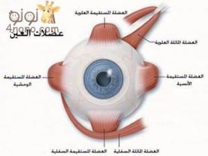 تطور حاسة البصر عند الطفل منذ الولادة