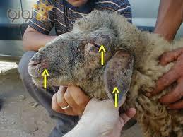 ازاي تشتري خروف العيد من غير ما البائع يضحك عليكم