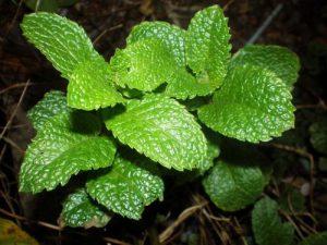 طريقة زراعة الاعشاب العطرية في المنزل