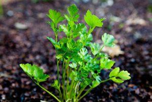طريقة زراع العشب العطري في المنزل
