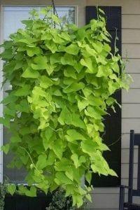 طريقة زراعة نبات زينة من البطاطس بالصور